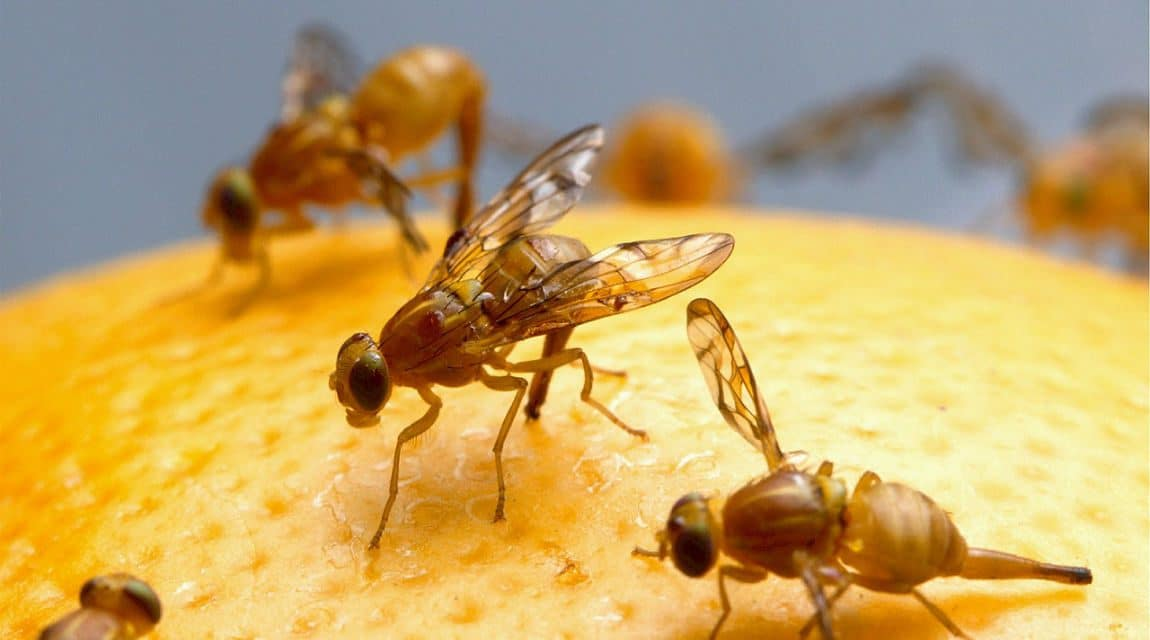 How To Get Rid Of Fruit Flies Gnats Know 4 Natural Home Remedies
