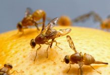 how to rid of fruit flies