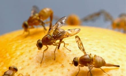 How to Get Rid of Fruit Flies & Other Gnats? – 4 Home Remedies
