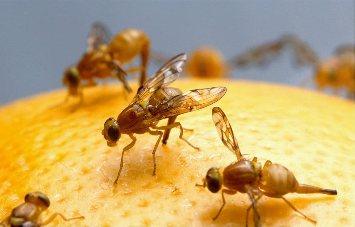 Let's see how to get rid of fruit flies by these 4 natural home remedies. #1 is by using apple cider vinegar with dish soap. #2 by using red wine in a long cylindrical bottle. #3 use over-ripen fruit placed in a glass bowl cover with plastic wrap with pierced holes. #4 use mashed banana instead