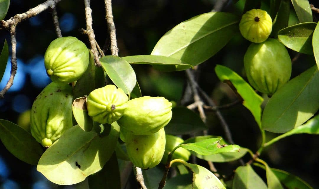Garcinia Cambogia Benefits Amp Side Effects From Reviews