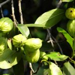 Garcinia Cambogia – Side Effects, Benefits from various Research Studies & Reviews