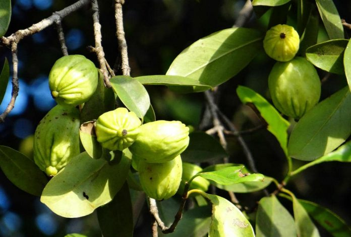 garcinia cambogia weight loss benefits side effects