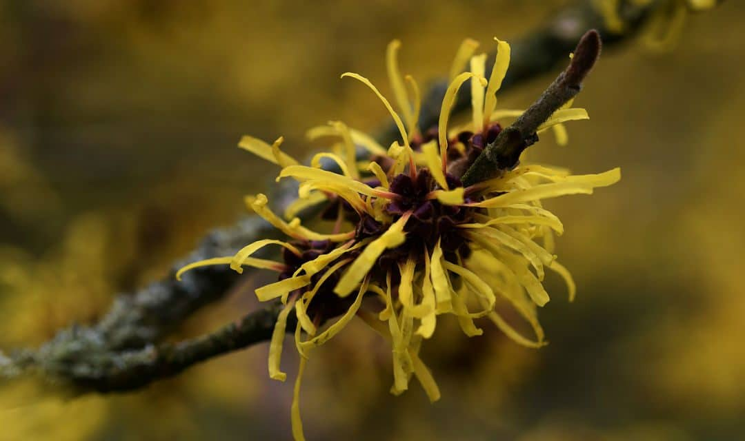 12 Benefits of Witch Hazel – A Magic Potion To Heal Skin Problems