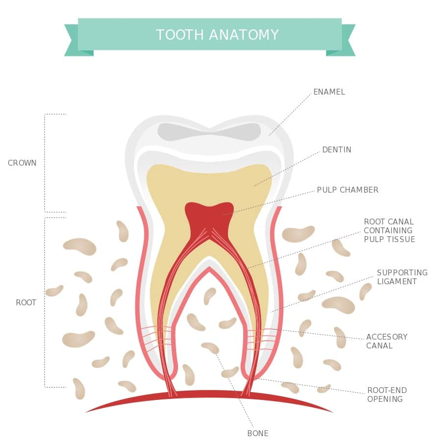 tooth anatomy with labels