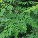 10 Amazing Health Benefits of Moringa With Nutrition