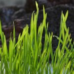 7 Top Health Benefits of Wheatgrass With Side Effects