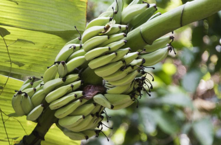 Plantain Benefits – 8 Reasons Why You Must Add It to Your Diet